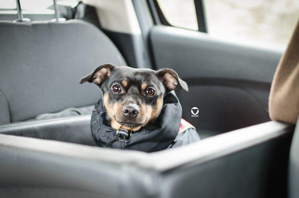 Pinscher Buddy, Buddy and Me, Dogblog, Hundeblog, Auto, Hund, Sicherheit, Autositz, Hundesitz, Reisen, Dogstyler, bequem, sicher, kleine Hunde, Rückbank