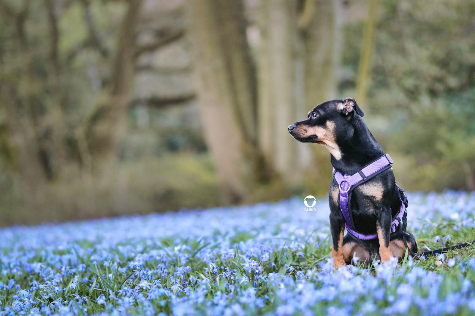 Pinscher Buddy, Buddy and Me, Hundeblog, Dogblog, Essen, Ruhrgebiet, Frühling, Blumen, Blüten, Hundefotografie, Nikon
