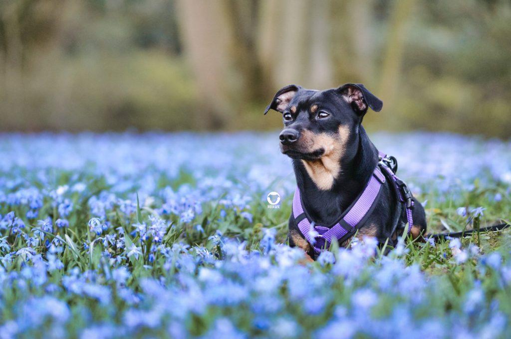 Pinscher Buddy, Buddy and Me, Hundeblog, Dogblog, Essen, Ruhrgebiet, Frühling, Blumen, Blüten, Hundefotografie, Nikon, AnnyX Sonderfarbe violett