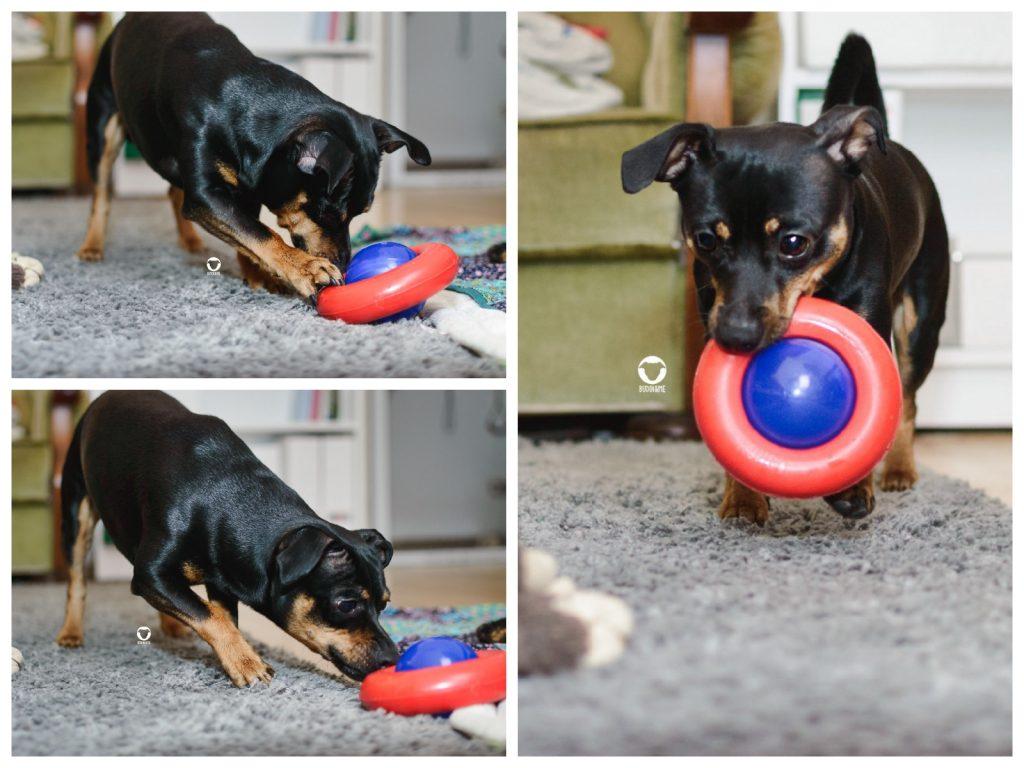 Pinscher Buddy, Buddy and Me, Hundeblog, Dogblog, Spielen, Beschäftigung, Zuhause, Drinnen, Indoor, Futterspiele, Suchspiele