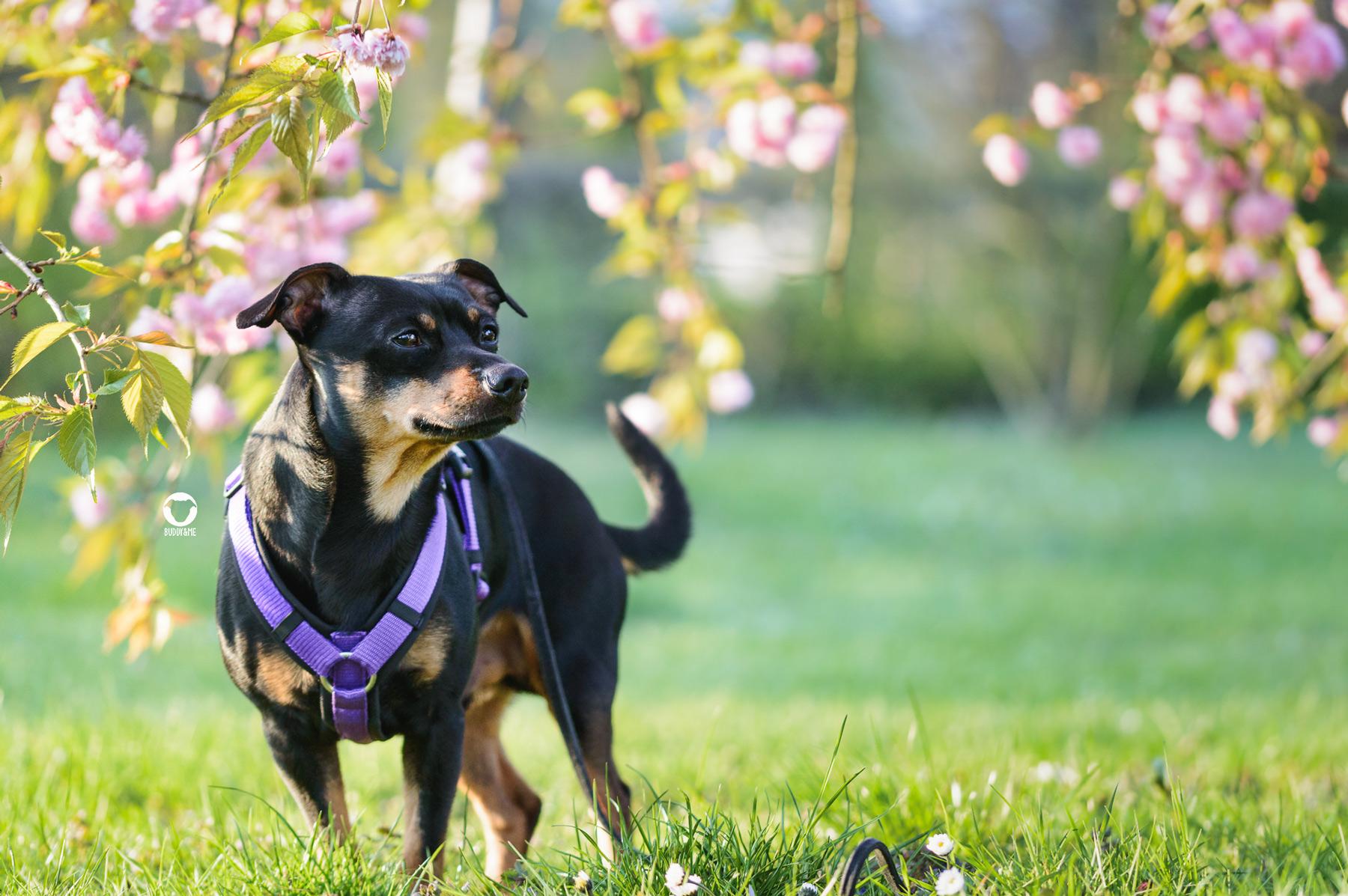 Pinscher Buddy, Buddy and Me, Hundeblog, Dogblog, Hundefotografie, Frühling, Kischblüte, Blumen, Blüten, rosa, Essen, Gruga, Grugapark