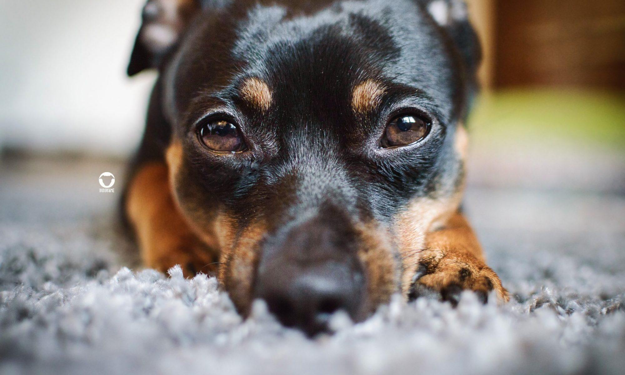 Pinscher Buddy, Buddy and Me, Hundeblog, Dogblog, kranker Hund, Durchfall, Magen-Darm-Infekt, Tierarzt, Gesund werden