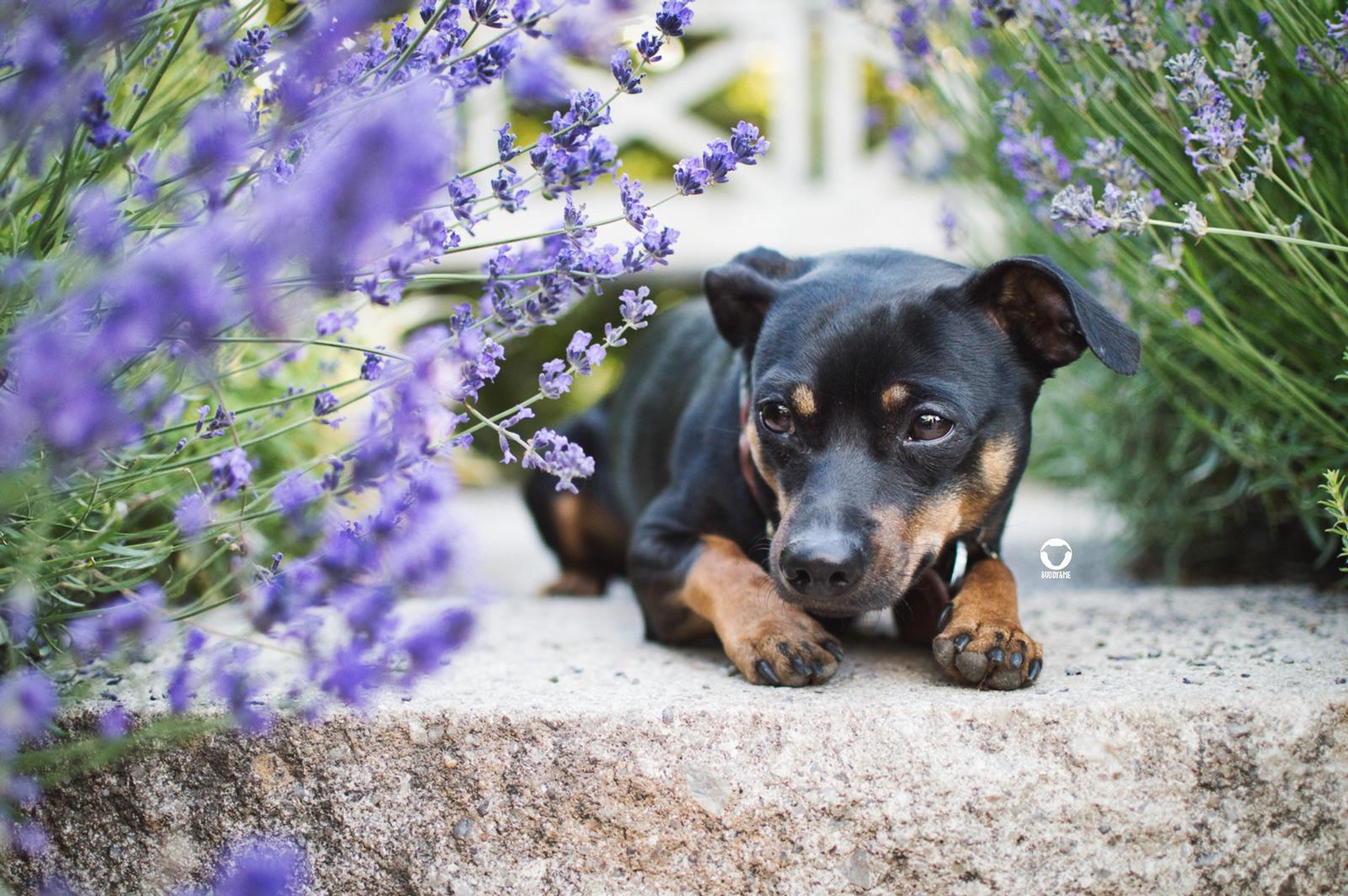 Pinscher Buddy, Buddy and Me, Hundeblog, Dogblog, Ruhrgebiet, Essen, Hund, Gesundheit, Homöopathie, ätherische Öle, Lavendel, Sommer