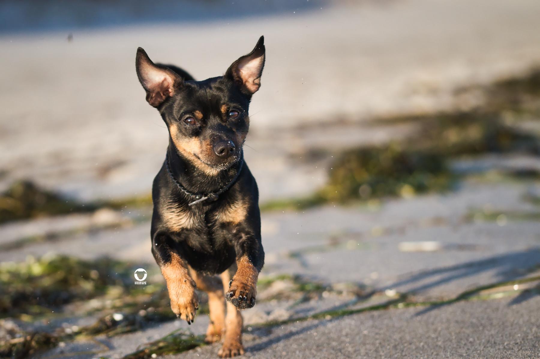 Ein glücklicher Buddy am Zingster Strand - Pinscher Buddy rennt am Strand von Zingstmit fliegenden Ohren auf die Kamera zu