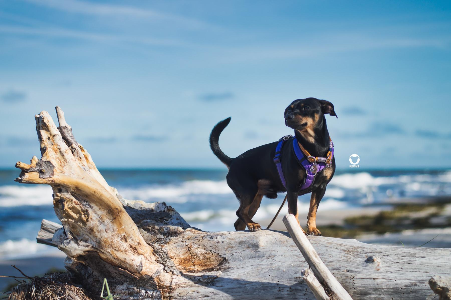 Pinscher Buddy, Buddy and Me, Hundeblog, Dogblog, Urllaub mit Hund, Hundeurlaub, Ostsee, Darß, Zingst, Strand, Meer, Weststrand, Ausflug, Darßwald, September