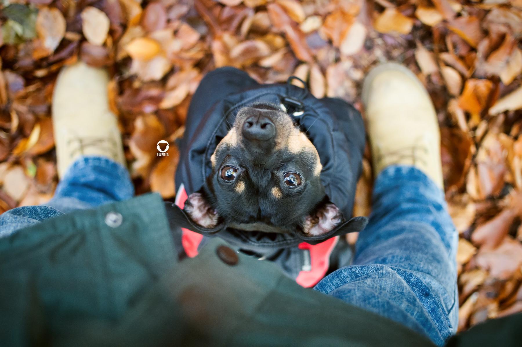 Pinscher Buddy, Buddy and Me, Hundeblog, Dogblog, Ruhrgebiet, Herbst, Herbstzeit, November, Wald, Spaziergang
