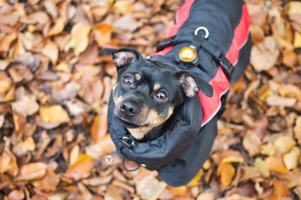 Pinscher Buddy, Buddy and Me, Hundeblog, Dogblog, Ruhrgebiet, Herbst, Wald, Spaziergang, Hund, Gassi, Ratingen, Hundemantel