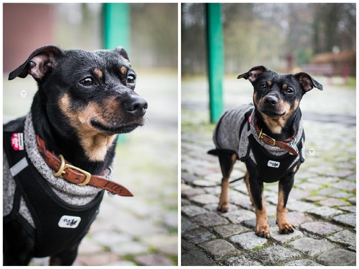 Pinscher Buddy, Buddy and Me, Hundeblog, Dogblog, Ruhrgebiet, Leben mit Hund, Hundealltag, Regen, Winter, Gruga, Hundepulli, Hundekleidung