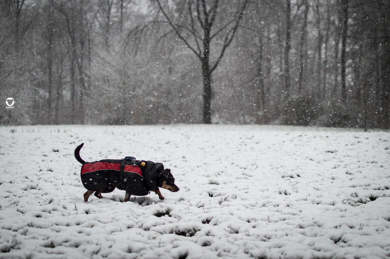 Pinscher Buddy, Buddy and Me, Hundeblog, Dogblog, Ruhrgebiet, Leben mit Hund, Hundealltag, Schnee, Schneetag, Winter, Heissiwald, Hundemantel, Winterwonderland