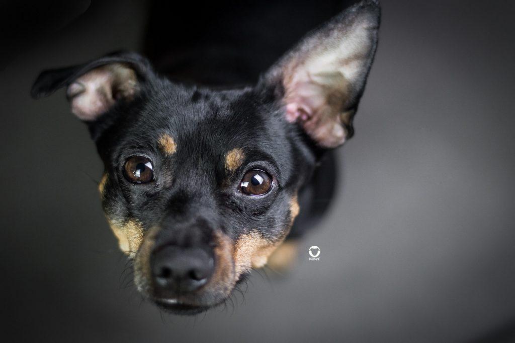 Pinscher Buddy, Buddy and Me, Hundeblog, Dogblog, Ruhrgebiet, Leben mit Hund, Hundealltag, Hundeportrait, Lieblingshund