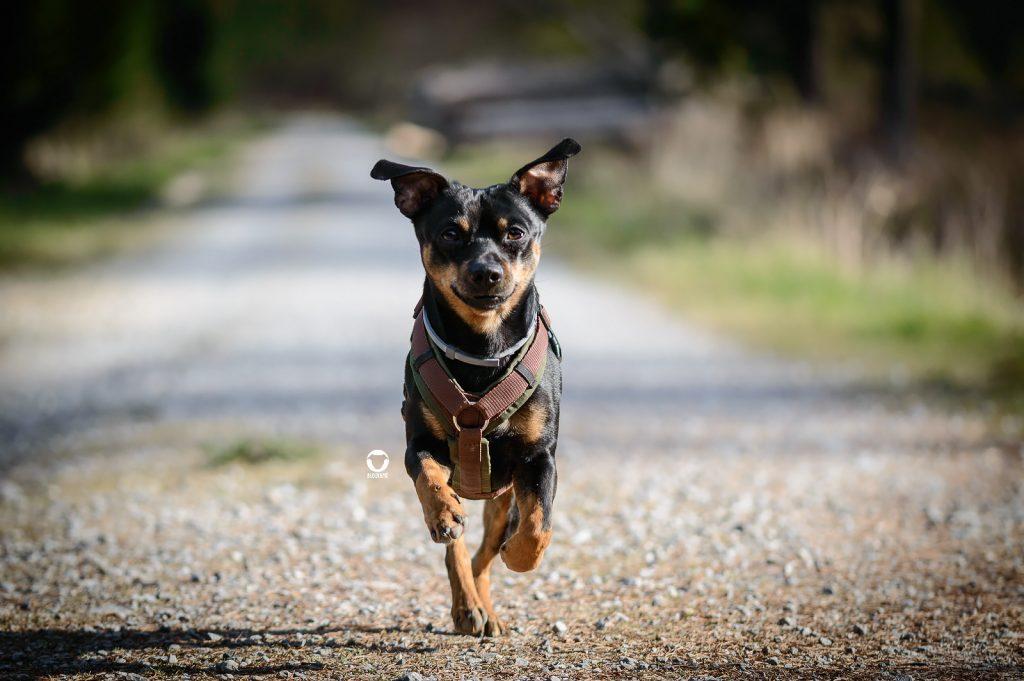 Pinscher Buddy, Buddy and Me, Hundeblog, Dogblog, Ruhrgebiet, Leben mit Hund, Hundealltag, Bewegung, Glück, Rennen. Laufen