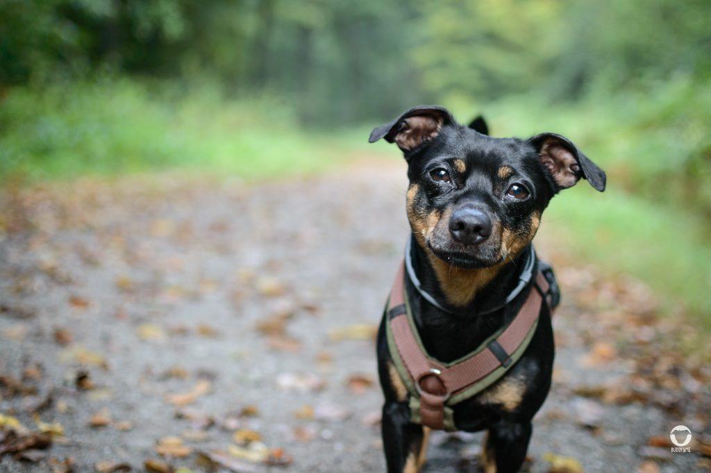 Vor der Hundeattacke - Pinscher Buddy, Buddy and Me, Hundeblog, Dogblog, Ruhrgebiet, Leben mit Hund, Hundealltag