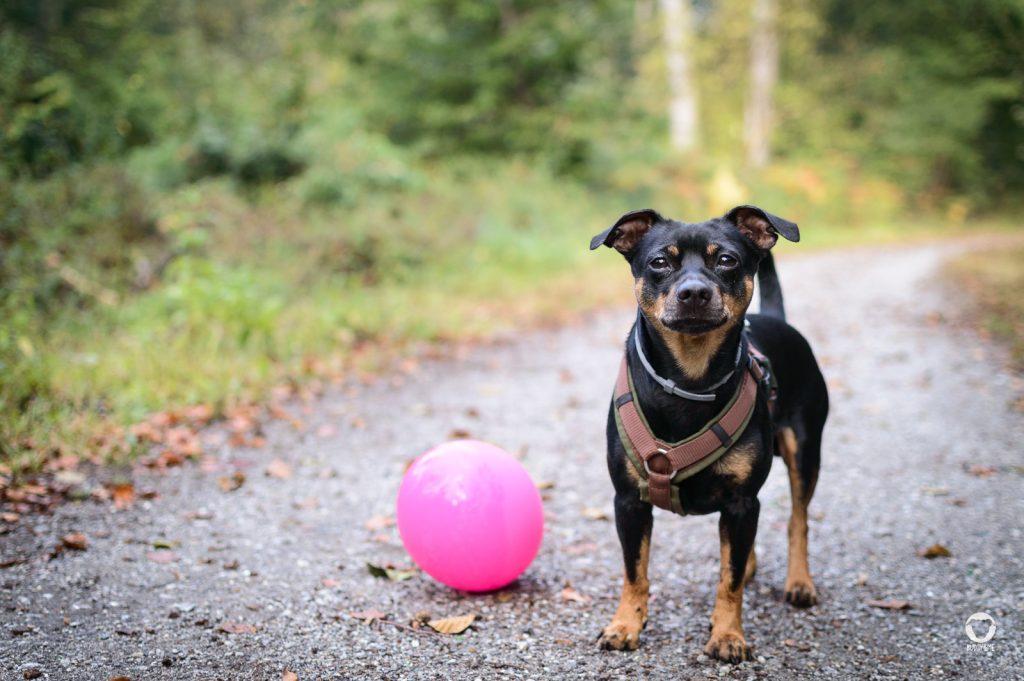 Buddy mit Luftballon - Pinscher Buddy, Buddy and Me, Hundeblog, Dogblog, Ruhrgebiet, Leben mit Hund, Hundealltag