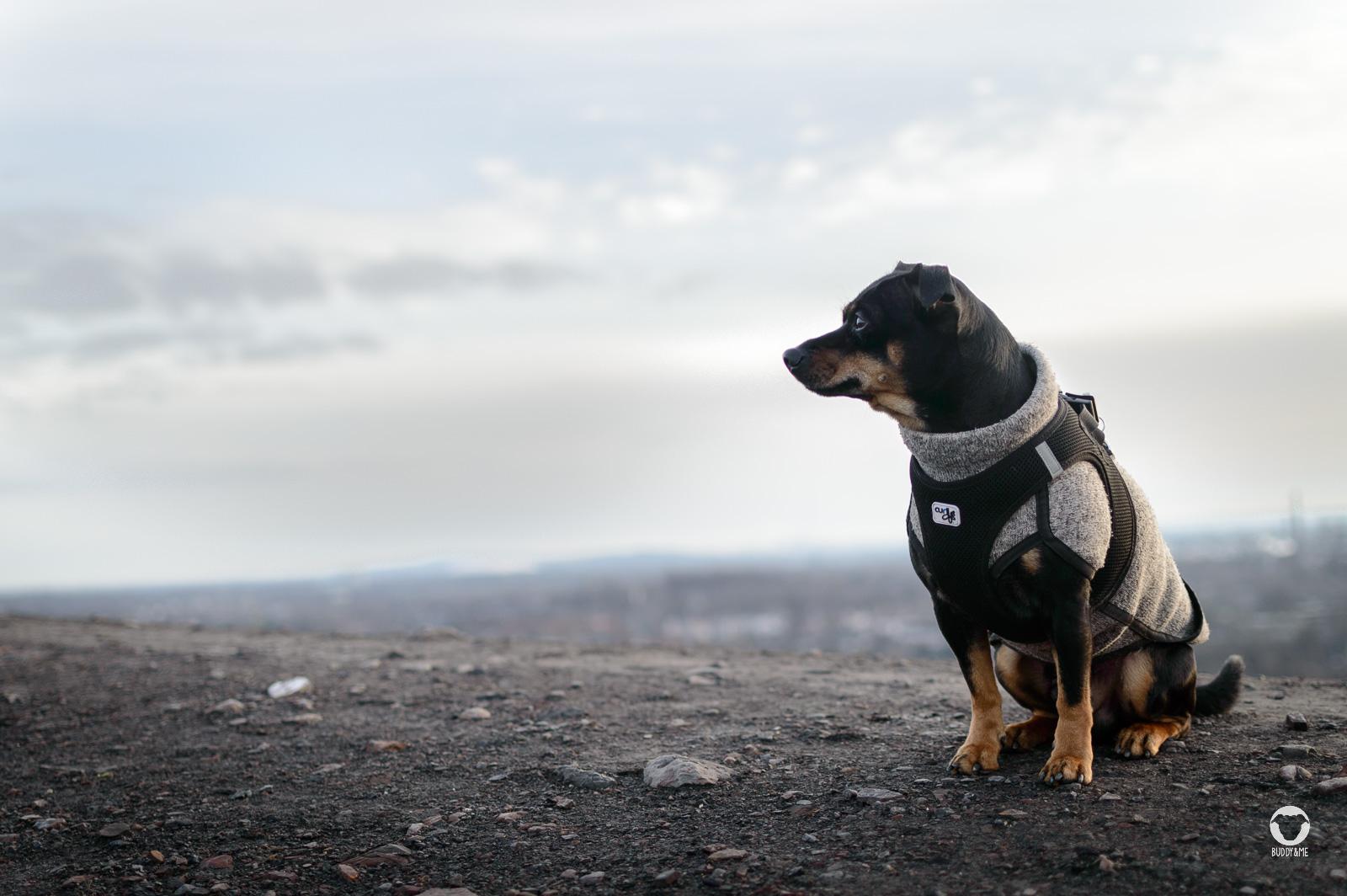 Buddy auf der Mottbruchhalde - Pinscher Buddy, Buddy and Me, Hundeblog, Dogblog, Ruhrgebiet, Leben mit Hund, Hundealltag