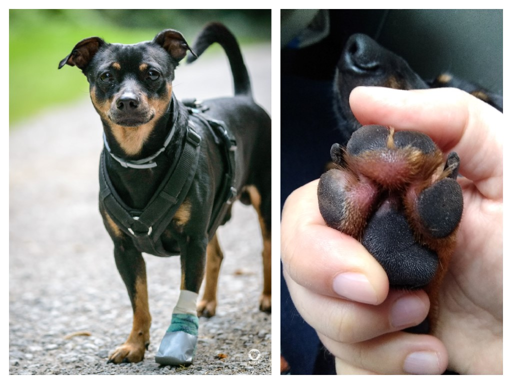 Entzündung an der Pfote -Pinscher Buddy, Buddy and Me, Hundeblog, Dogblog, Ruhrgebiet, Leben mit Hund, Hundealltag