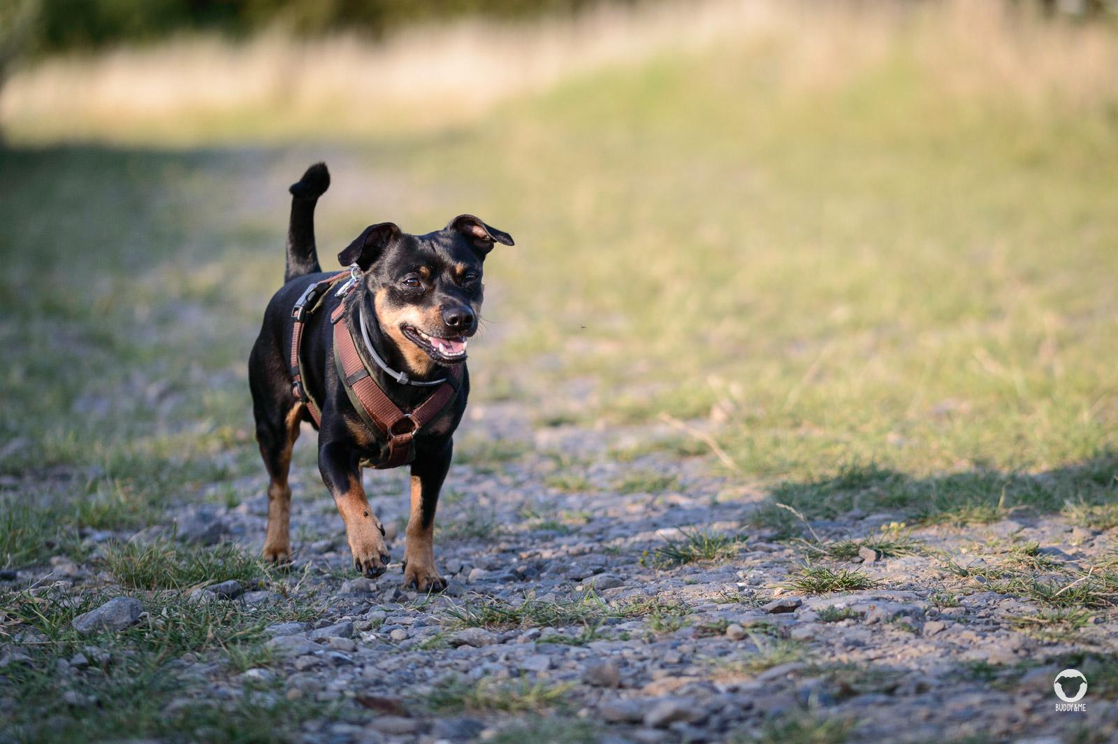 Buddy im Hitzesommer - Pinscher Buddy läuft hechelnd einen Schotterweg in der Abendsonne entlang