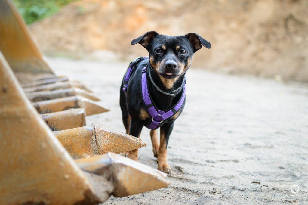 Baustellenarbeit beim Mensch-Hund-Team - Pinscher Buddy steht neben einer gelben Baggerschaufel und streckt die Zunge ein bisschen raus