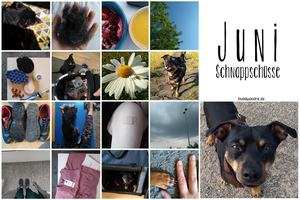 Unsere Monatsschnappschüsse aus dem Juni 2021, mit Bildern von Pinscher Buddy, Pflege beim Hund, Fellwechsel, Sommer, Hitze, Impfung, körperliches und geistiges Wohlergehen