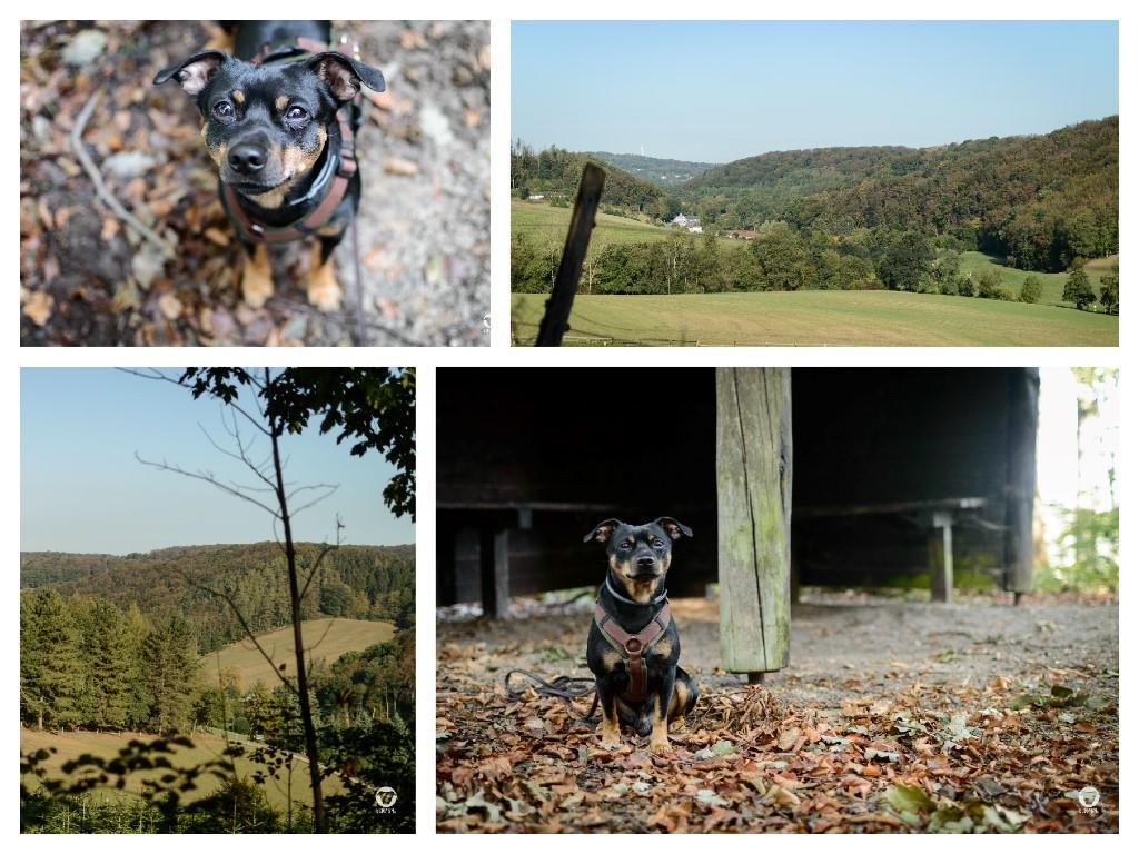 Unterwegs in der Elfringhauser Schweiz - zwei Aussichten samt Wiesen und Hügeln von unserer Gassitour plus Pinscher Buddy sitzt vor der Schutzhütte und Pinscher Buddy schaut nach oben in die Kamera