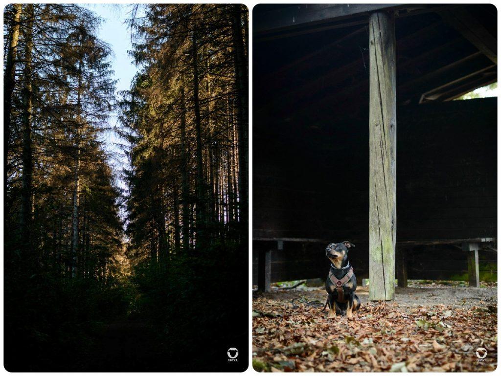 Gassitour in der Elfringhauser Schweiz - unser schmaler Weg zwischen Wänden aus Nadelbäumen plus Pinscher Buddy vor der Schutzhütte