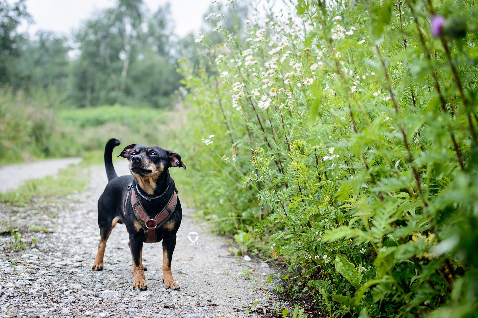 Pinscher Buddy hält die Nase in den Wind - Buddy steht auf einem Schotterweg neben dschungelartig wachsendem Grün