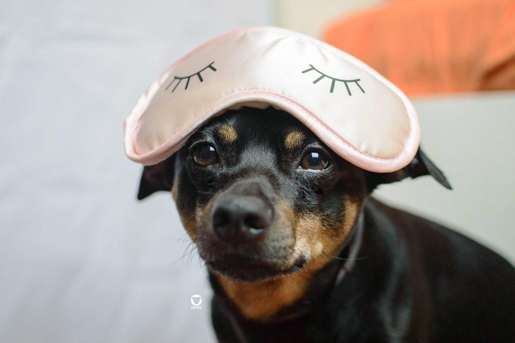 Zwerg mit Schlafmaske - Pinscher Buddy trägt eine rosa Schlafbrille auf der Stirn