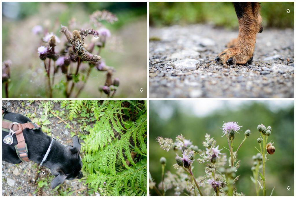 Juli - Spinne auf einer regennassen Planze, Pinscher Buddys Pfote auf einem Schotterweg, Buddy beim Schnüffeln an einem Farn, lila Distelblüten