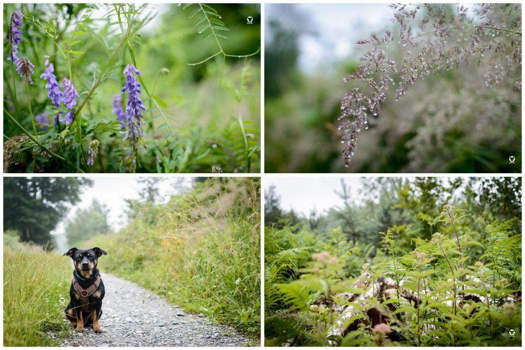 regenreicher Sommer - Blühende Pflanzen am Wegesrand, Pinscher Buddy sitzt auf einem Schotterweg zwischen hohem Grün, dschungelartig wuchernde Farne