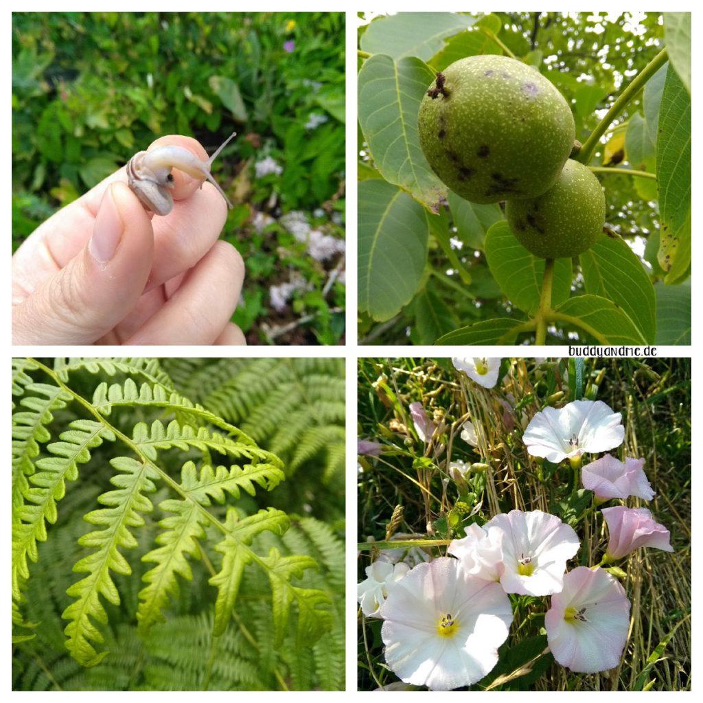 Schnappschüsse Juli - Vier Fotos aus der Natur, Walnüsse wachsen am Baum, eine kleine Schnecke in der Hand streckt den Kopf heraus, sattgrüne Farnblätter und wilde Morning Glorys