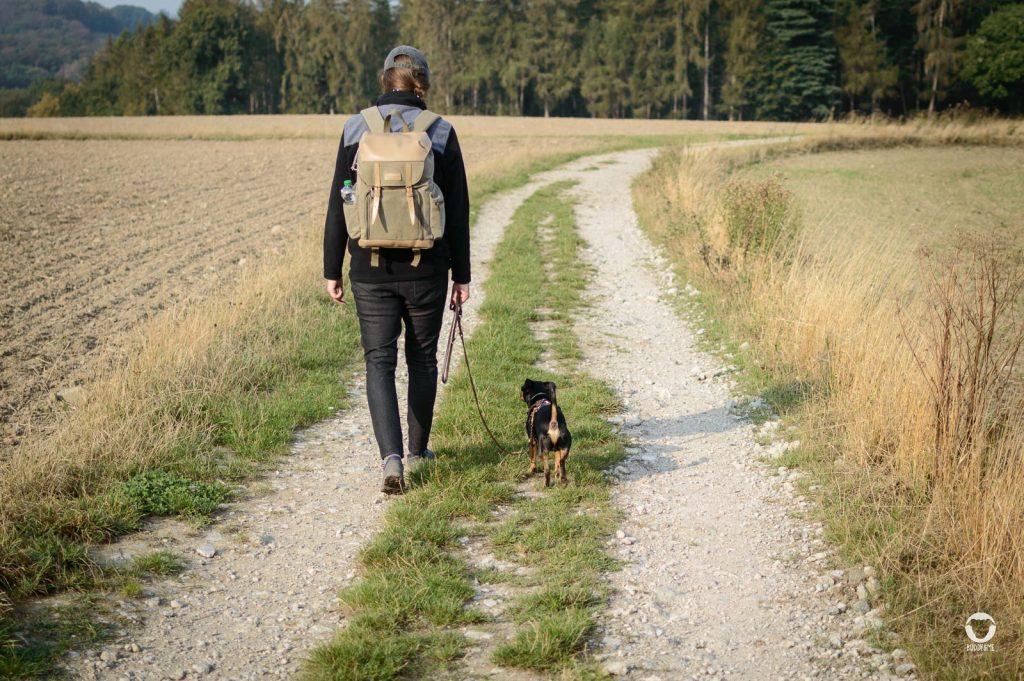 Gemeinsam unterwegs - Pinscher Buddy und Zweibein Melodylaufen einen Wanderweg zwischen Feldern entlang