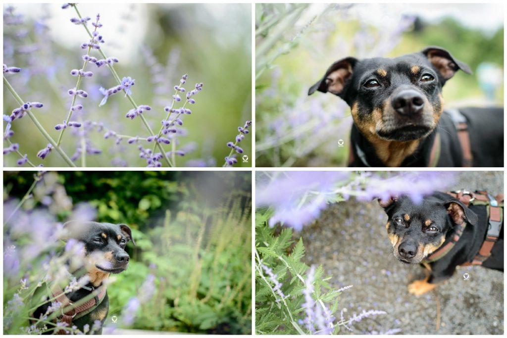 Sommer im Park - Pinscher Buddy mit blühendem Lavendel, einmal von oben und einmal im Portrait