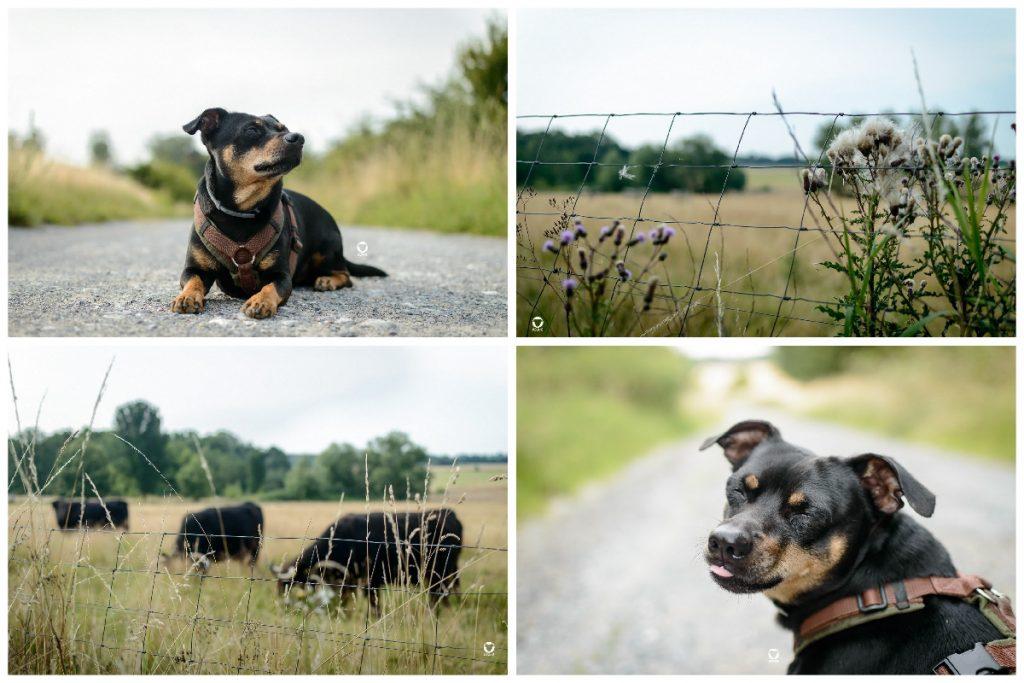 Unterwegs auf dem Auberg - Pinscher Buddy auf einem Schotterweg zwischen hohen Wiesen, Rinder auf einer Weide und der Blick über die Wiesen samt blühender Disteln