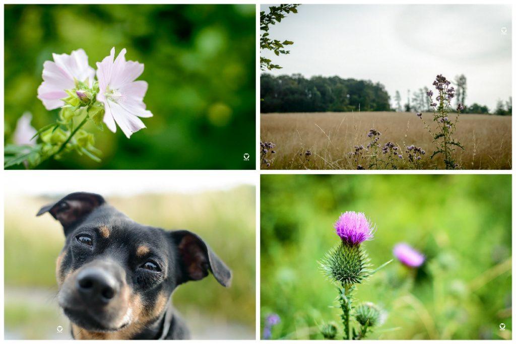 Sommer Gassi - Vier Fotos, auf einem eine Nahaufnahme einer hellen Blüte, ein weiteres von einer blühenden Distel, ein Portraitfoto von Buddy und eine Landchaftsaufnahme von einer ausgeblichenen Sommerwiese an bewölktem Tag