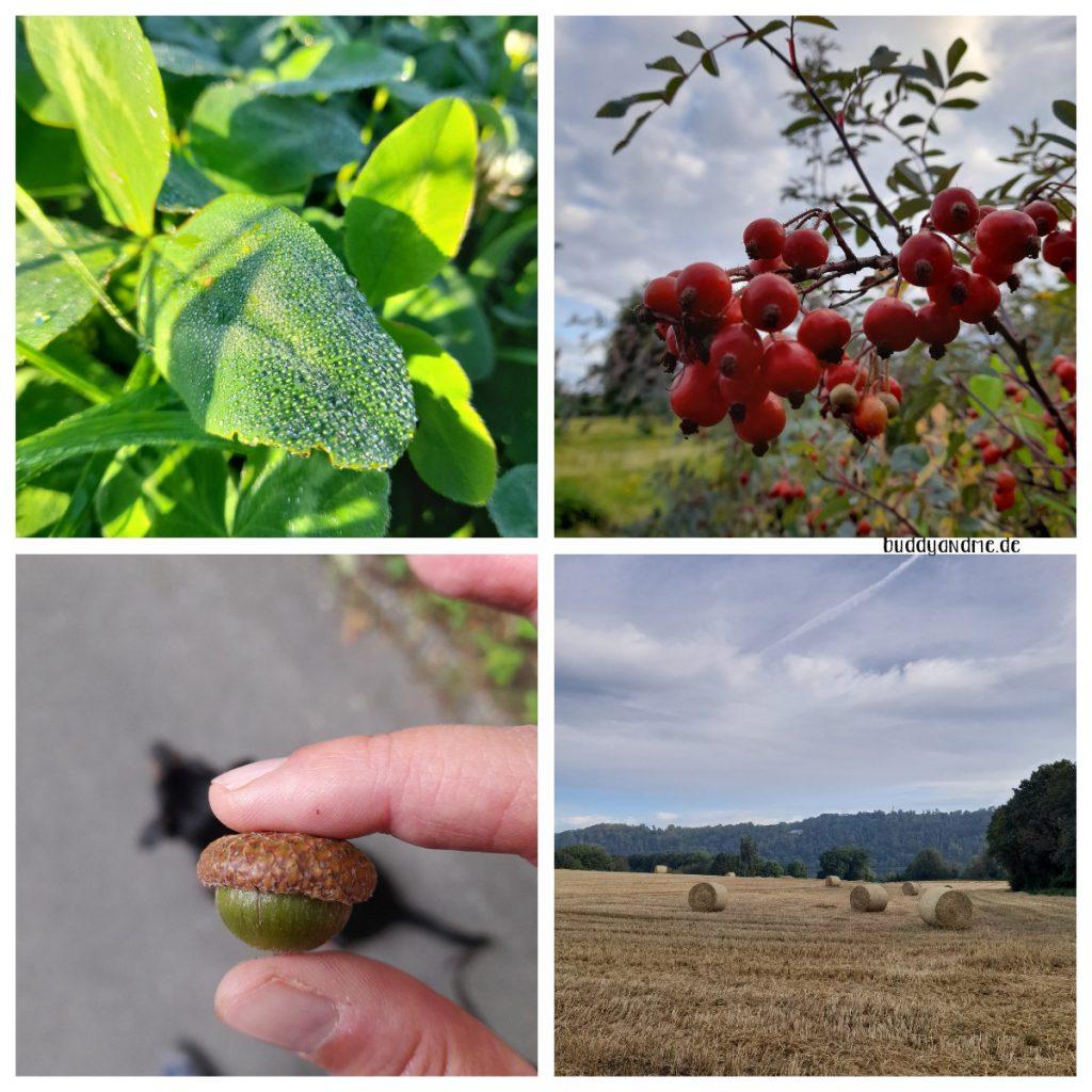 Schnappschüsse August -  Herbstboten wie Tau auf Blättern, Hagebutten am Busch, eine Eichel, ein Feld mit Strohballen