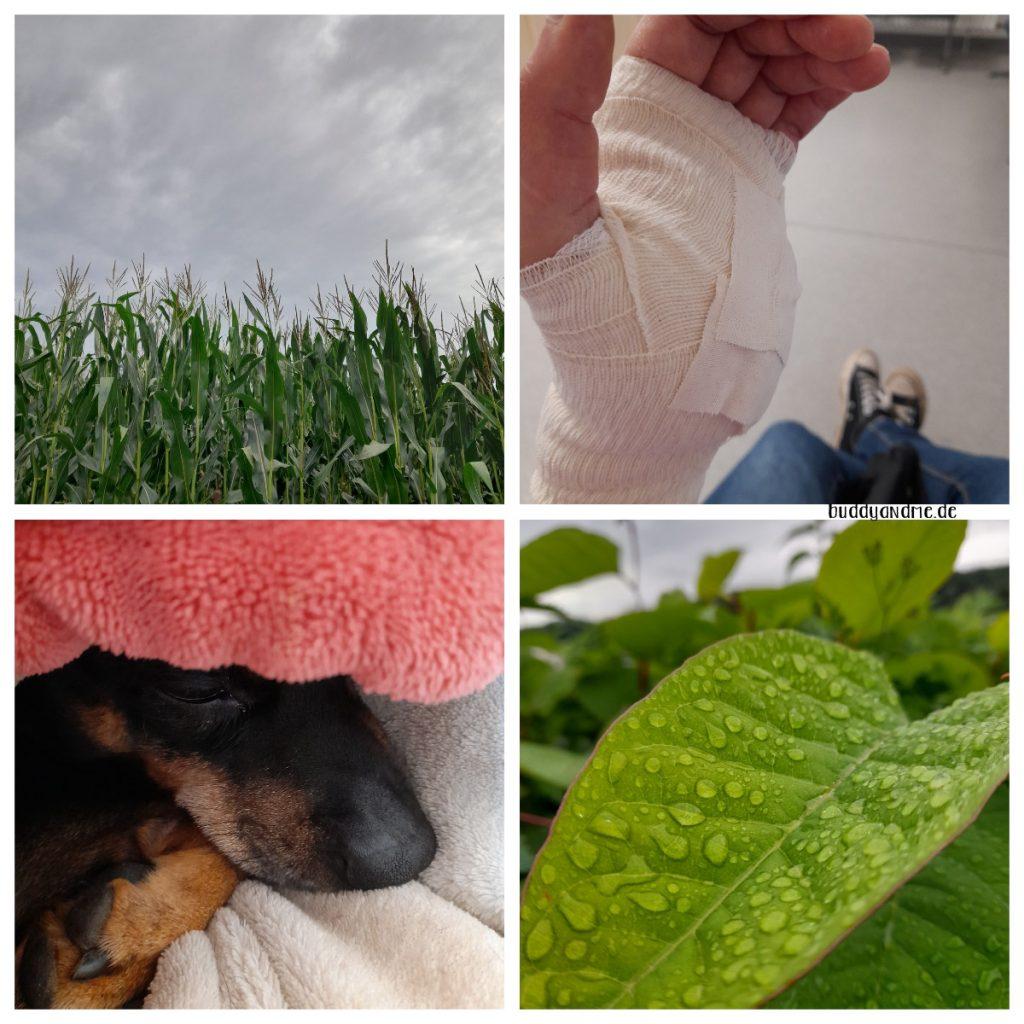 Schnappschüsse August - Ein Maisfeld vor dunklem Himmel, Hand mit Verband, Pinscher Buddy unter einer Decke, Blatt mit Regentropfen