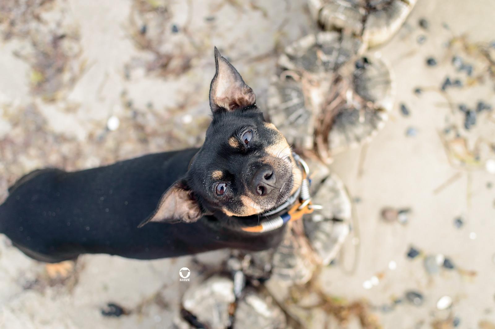 Pinscher Buddy am Strand - Urlaub in Zingst, Buddy steht auf den Buhnen und schaut mit stehenden Ohren nach oben in die Kamera